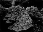 Black/White Corals