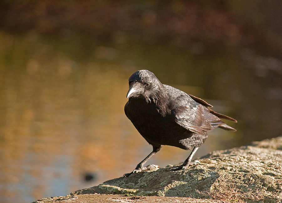 Blacky, die verfressene Krähe