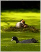 Blässhuhn (Fulica atra), im HG Haubentaucher (Podiceps cristatus)