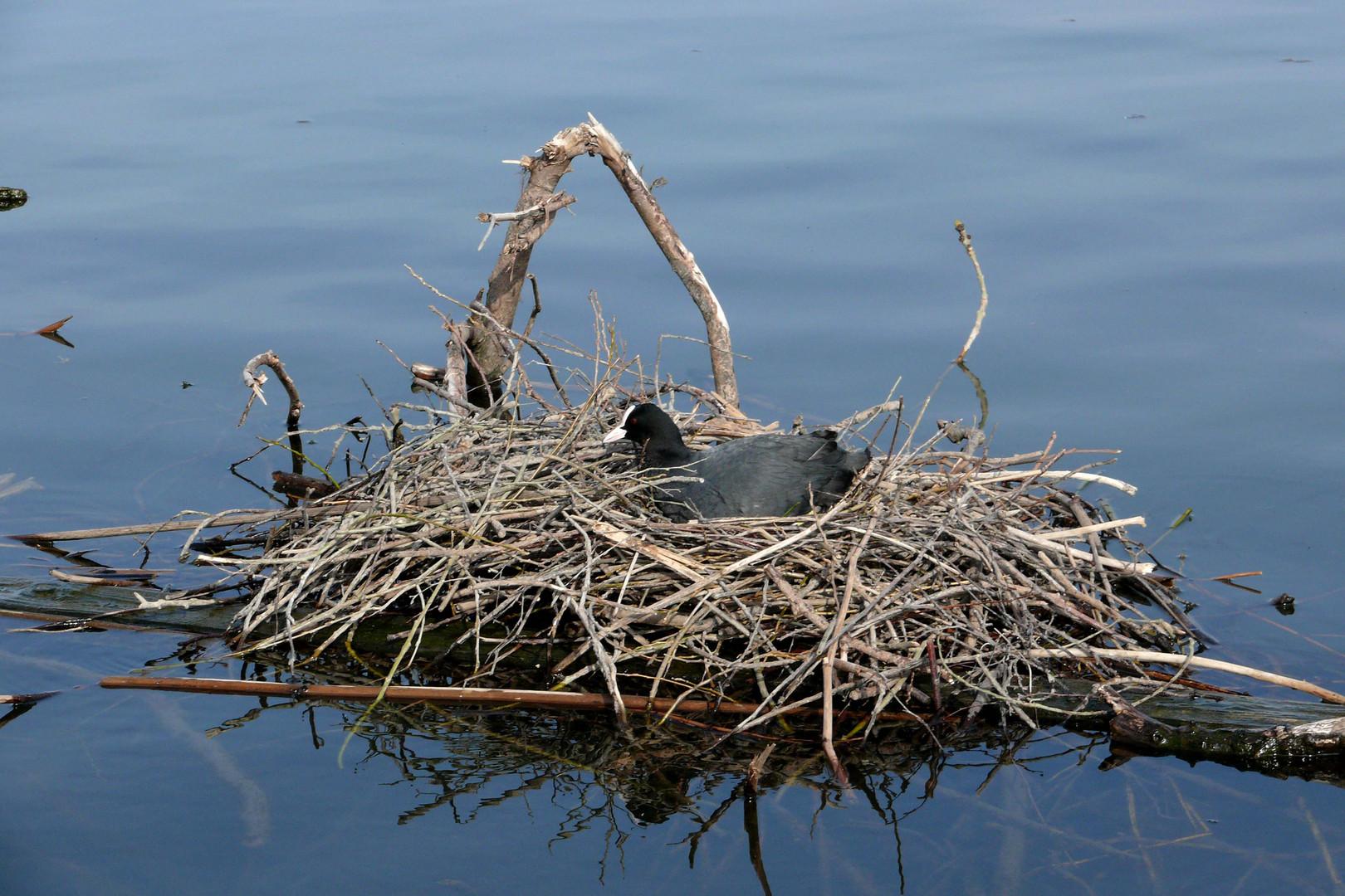Blässhuhn im Schwimm-Nest