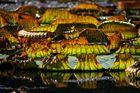 Blätter auf Seerosenteich im Herbstgewand