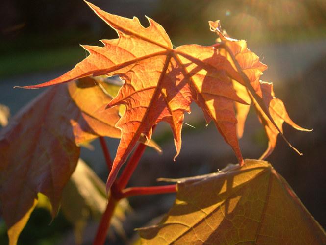 Blätter bei untergehender Sonne
