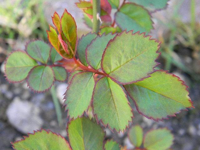 Blätter einer Rose