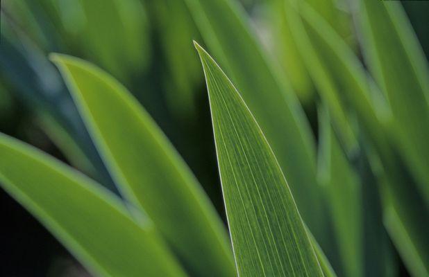 Blätter einer Schwertlilie