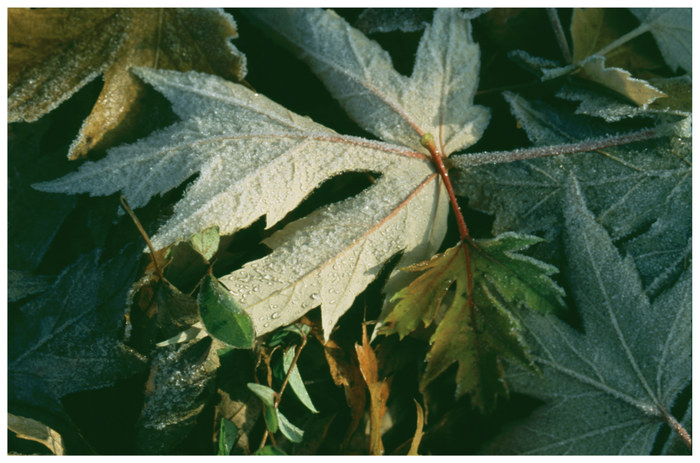 Blätter / Frost