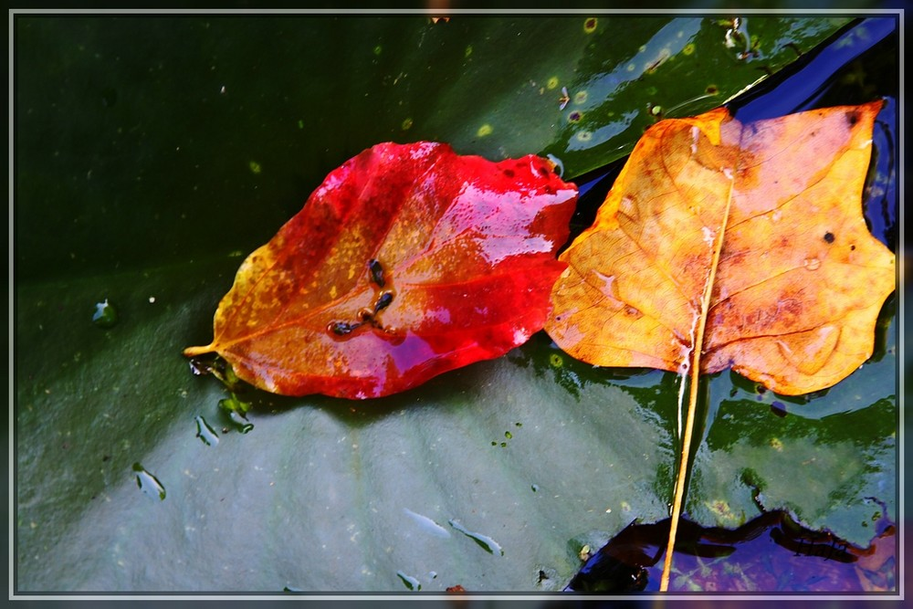 Blätter im Wasser,,,
