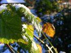 Blätter in der Wintersonne