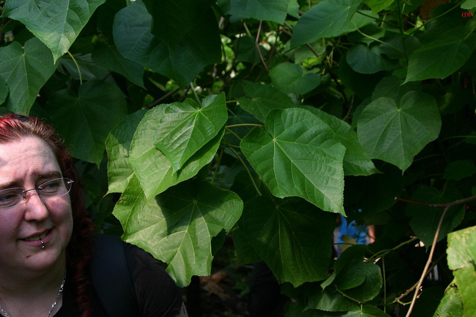 Blätter, so groß, wie ein Kopf