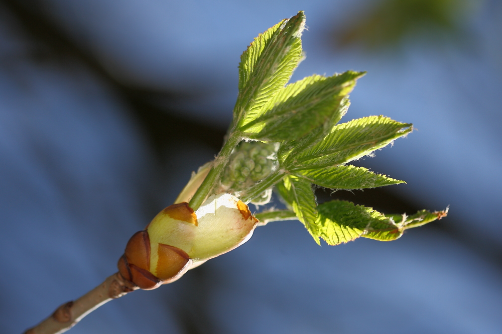 Blätter strecken sich - endlich Frühling