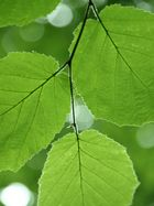Blätterlicht