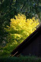 Blätterstimmung Abendsonne