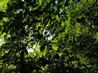 Blätterwirrwar