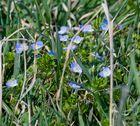 bläulicher Frühlingsblüher