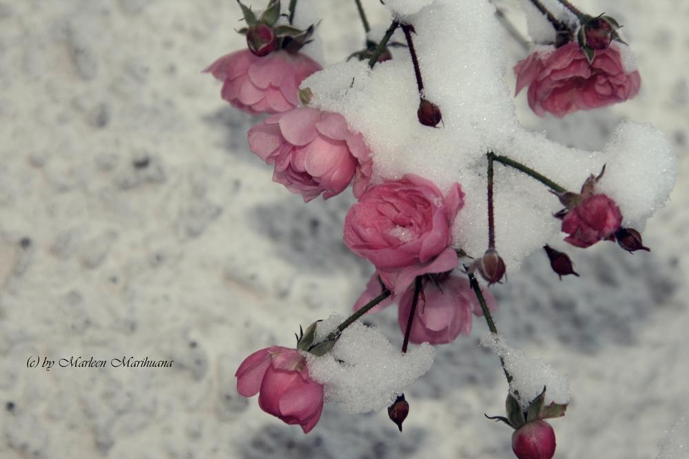 blanc comme neige..