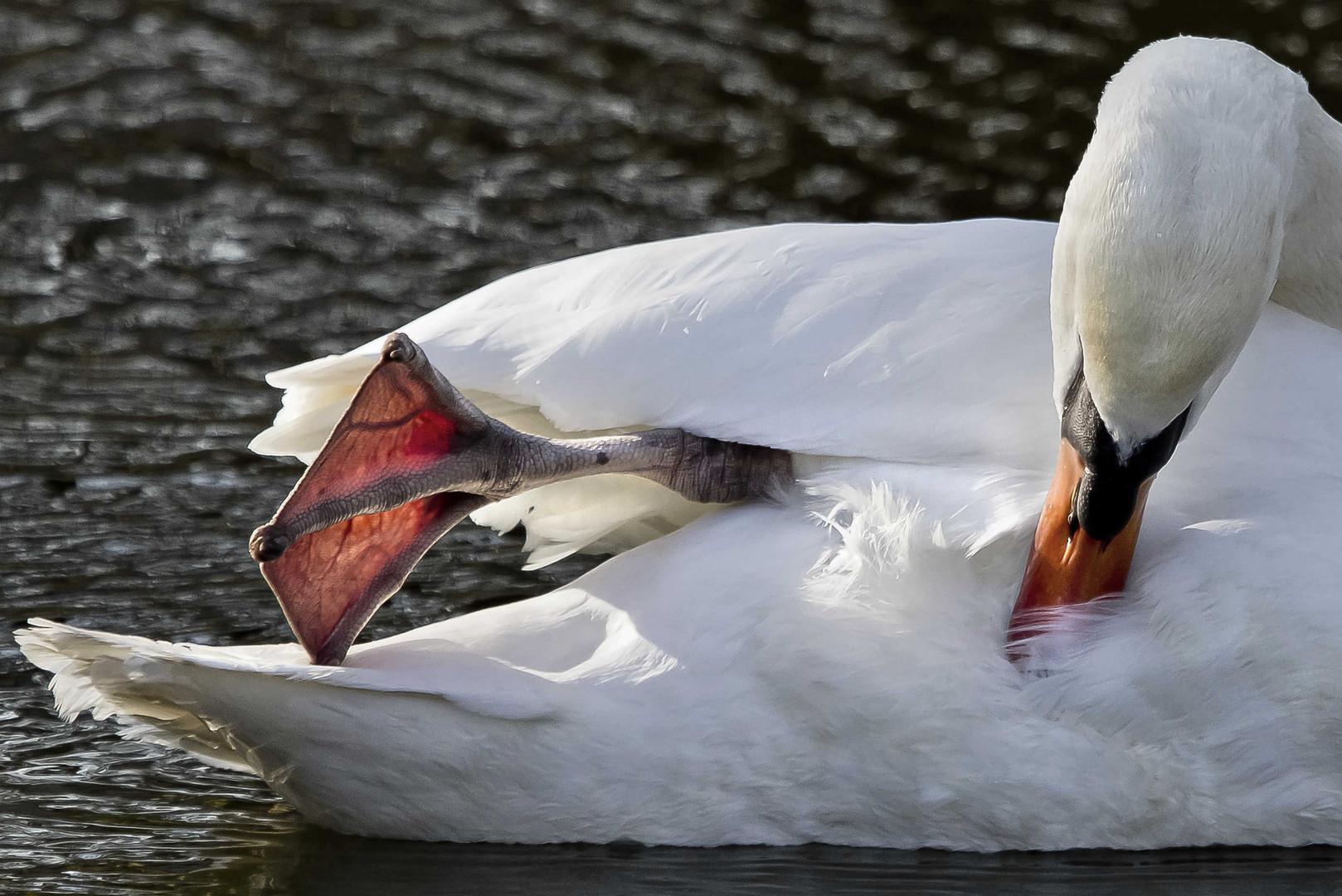 blanc cygne