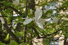 Blanche Magnolia