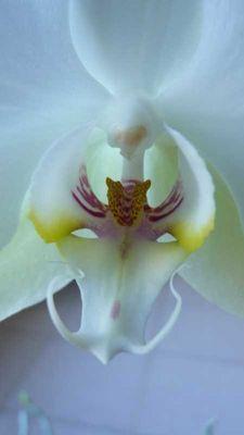 blanche orxhidée