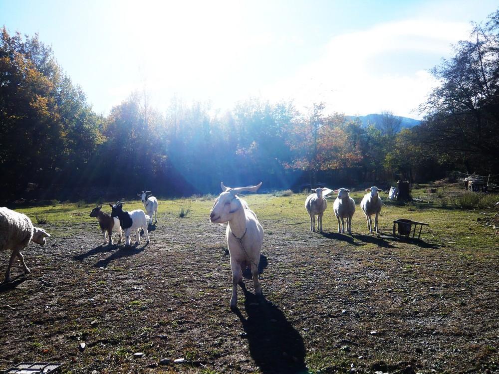 Blanchette et les 3 moutons