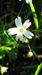 blancheur du printemps
