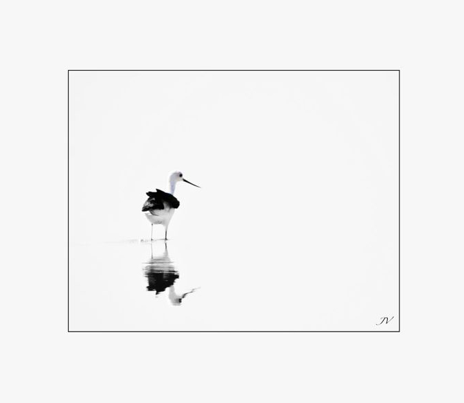 Blanco con plumas negras