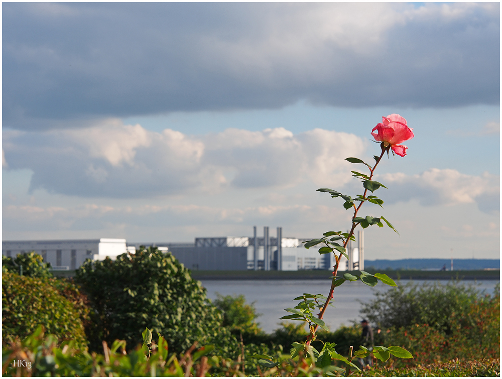 Blankeneser Rose