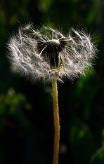 Blasepflanze