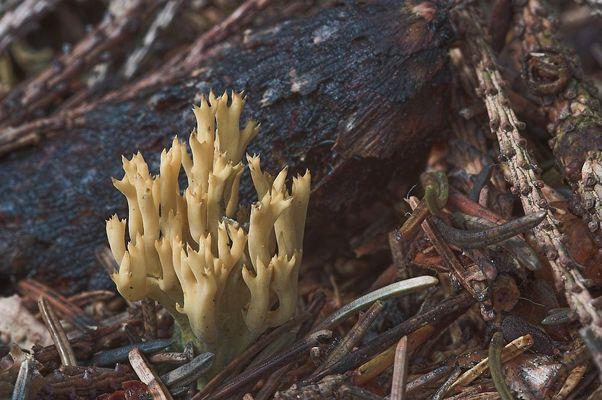 Blasse Koralle (Ramaria pallida)?
