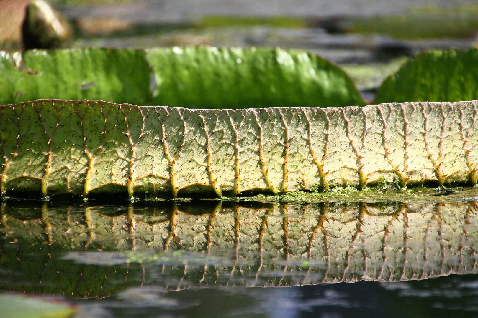 Blatt auf Seerosenteich