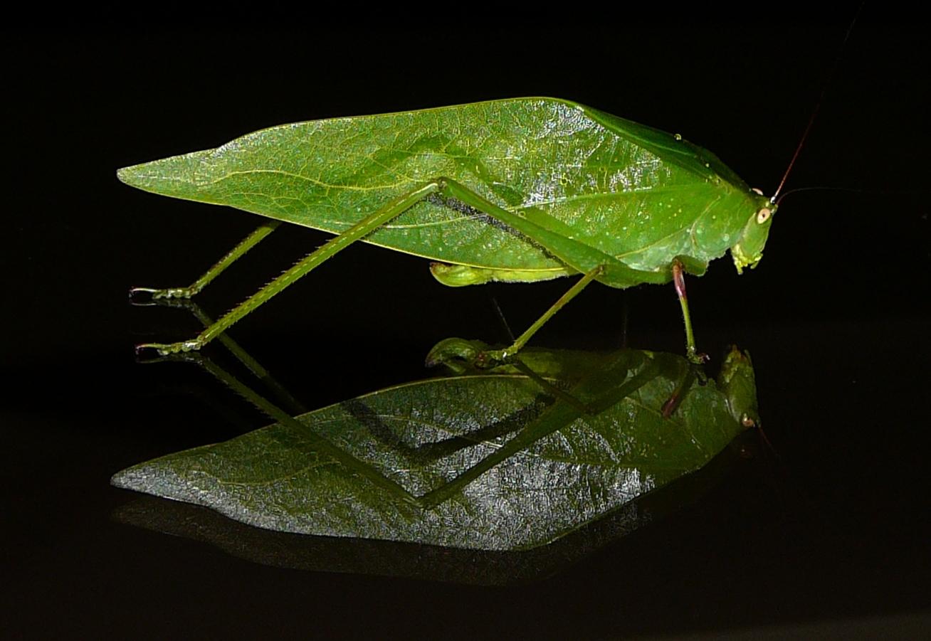 Blatt-Heuschrecke