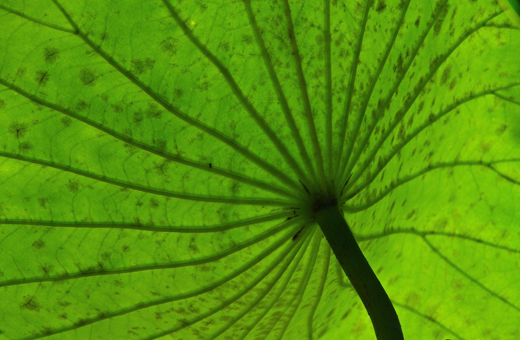 Blatt im Seerosenteich von unten gesehen