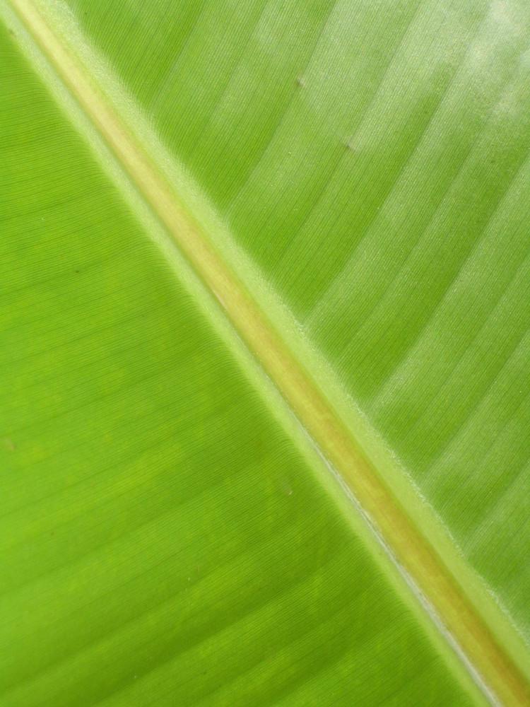 Blatt vom Bananenbaum