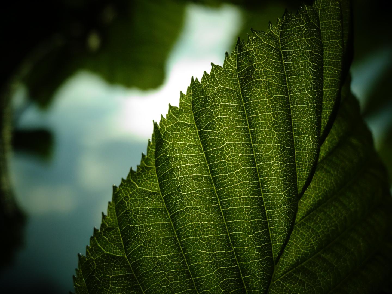 Blatt von Carpinus betulus im Gegenlicht