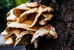 Blattartiger Pilz an einem Laubbaum
