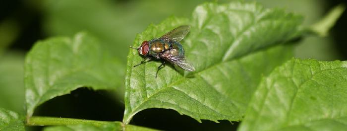 Blattgrün mit Fliege
