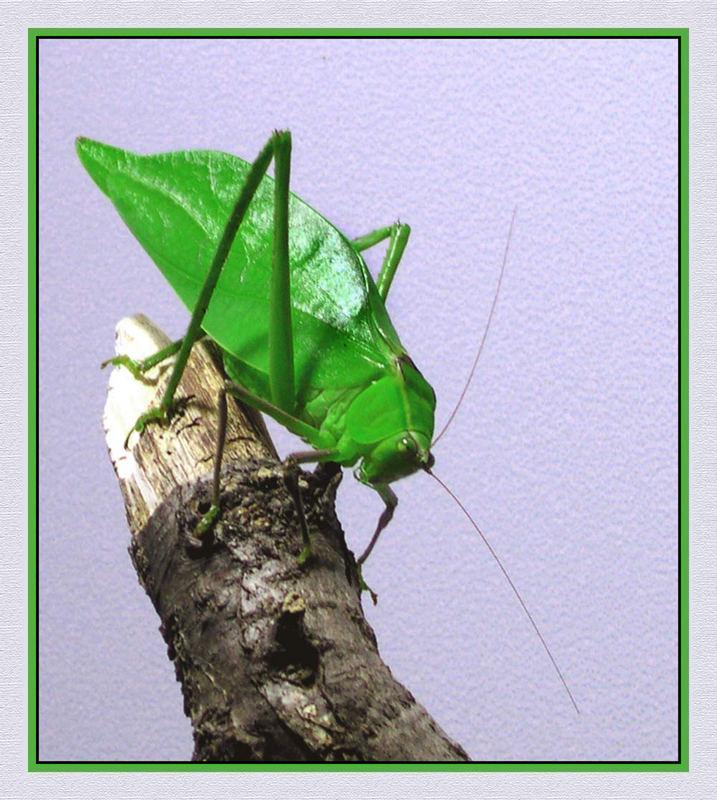 Blattheuschrecke, Stilpnochlora couloniana