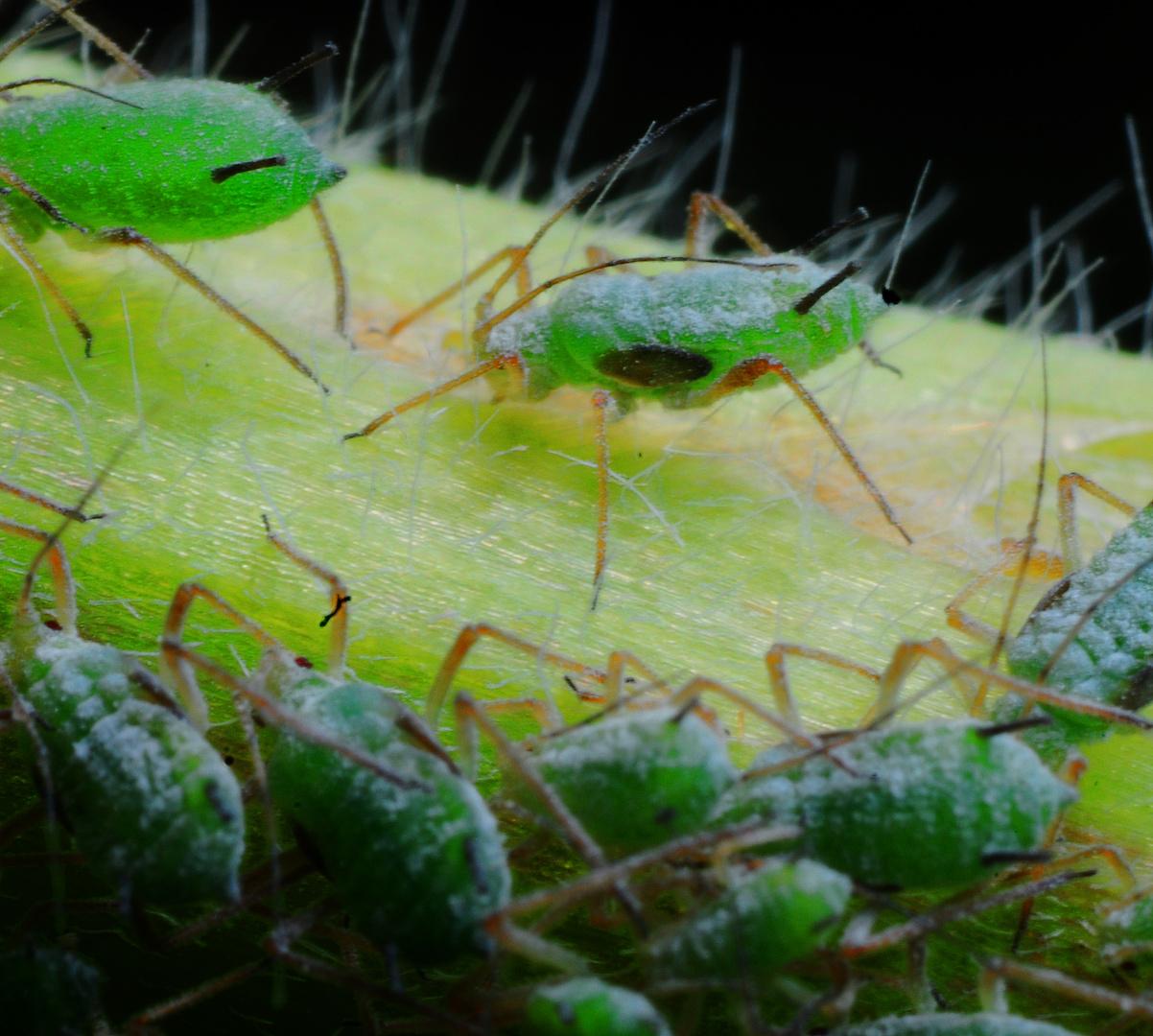 Blattläuse an einem Stengel saugend - Lebewesen aus grünem Wackelpudding ?