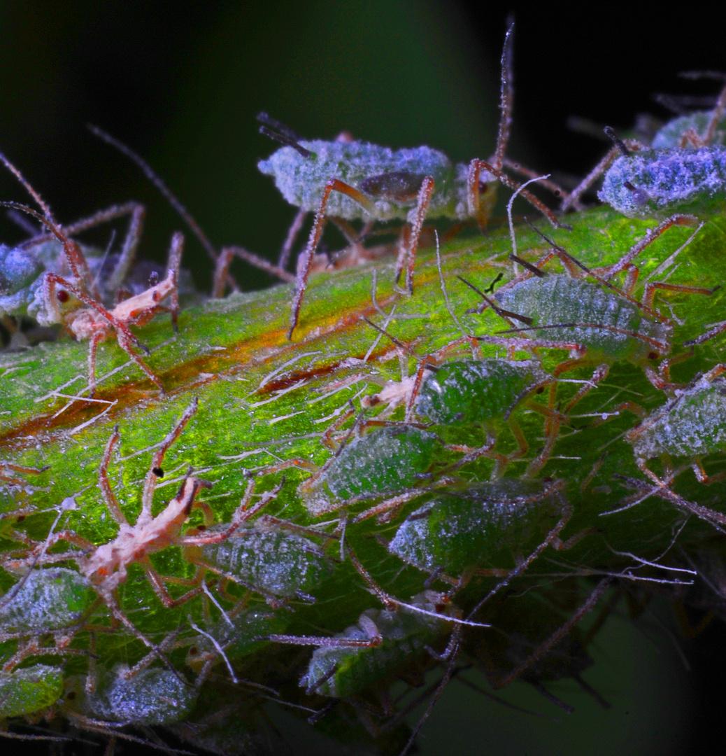 Blattläuse auf einem Pflanzenstängel