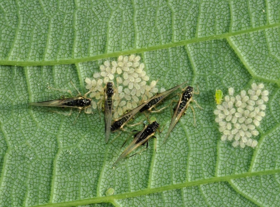 Blattlausfamilie