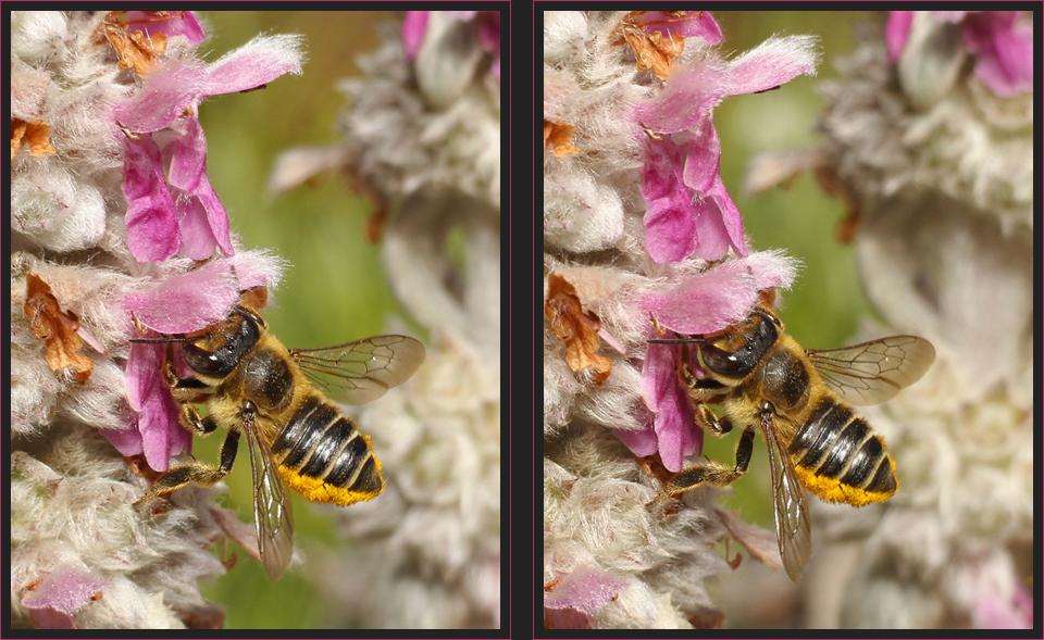 Blattschneiderbiene [3D]