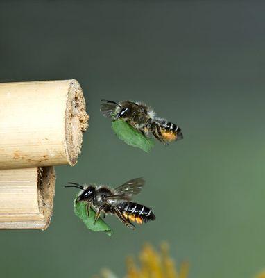 Blattschneiderbiene im Flug