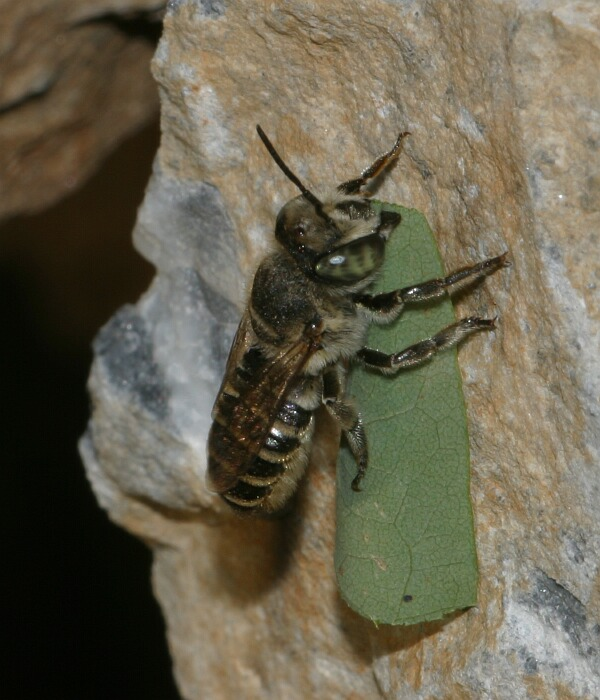 Blattschneiderbiene in der Türkei