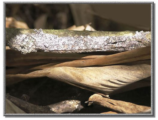 Blattschwanzgecko