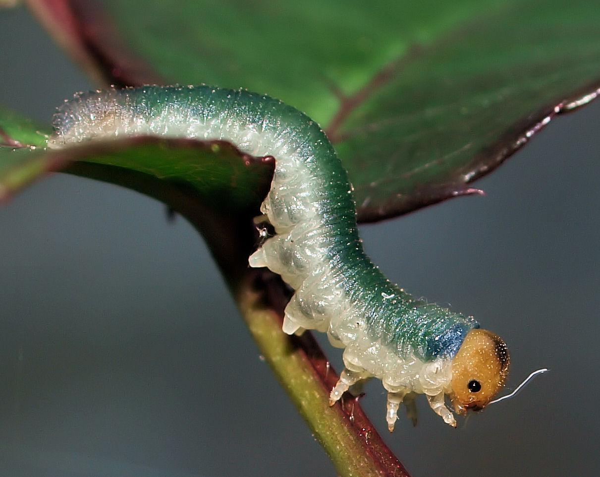 Blattwespenlarve