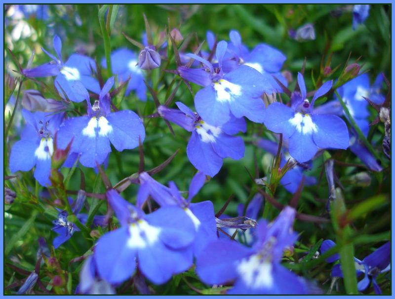 blau blau blau sind alle meine blumen foto bild pflanzen pilze flechten bl ten. Black Bedroom Furniture Sets. Home Design Ideas