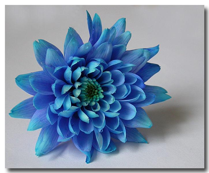 Blau-Blüher