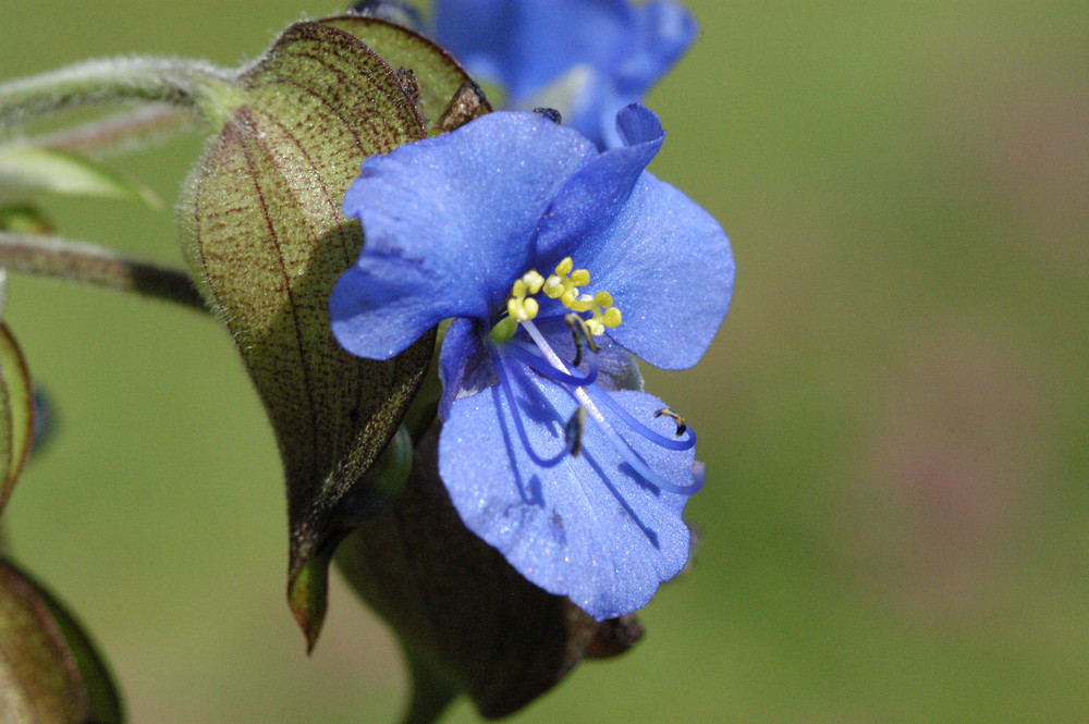 Blau Blütig