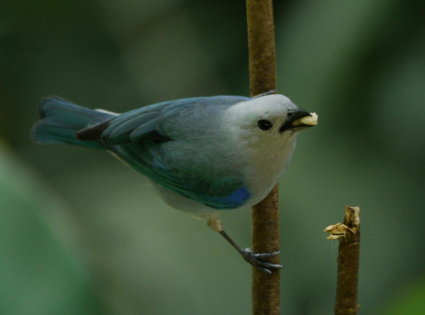 Blau-grauer Tanager