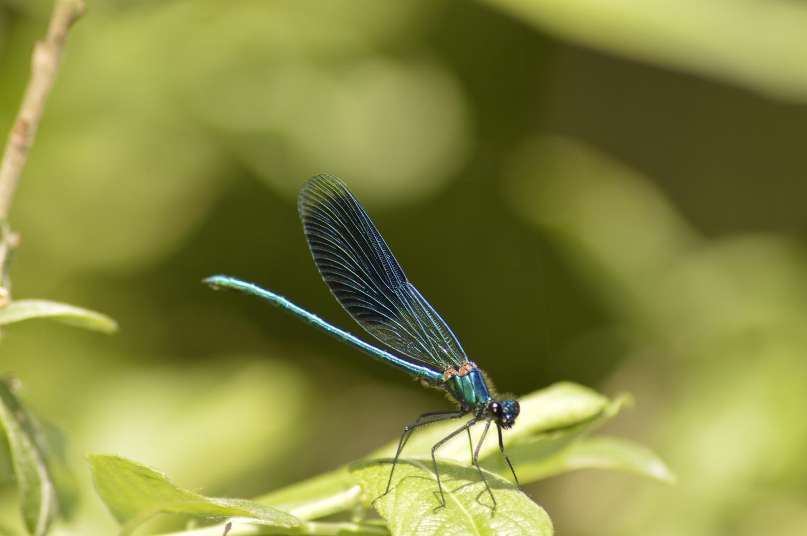 blau-grüne Libelle