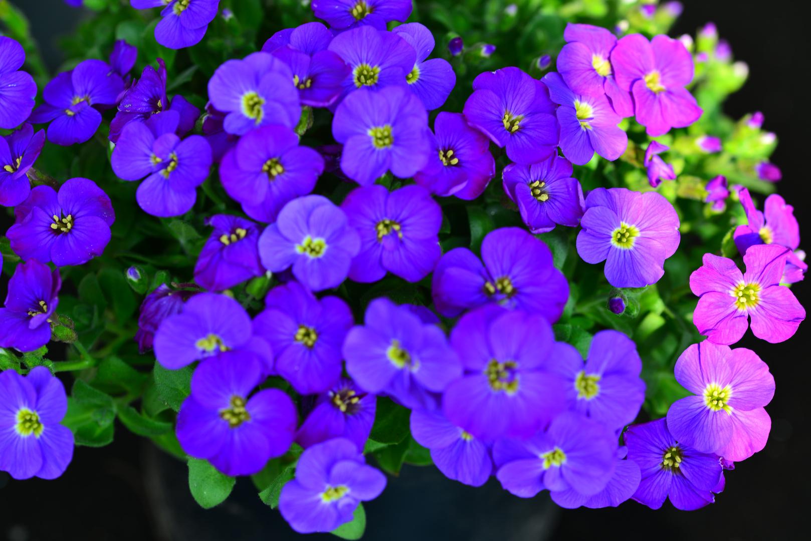 Blau oder Rosa