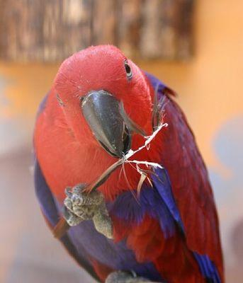 Blau-roter Papagei